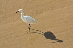 Egret alla spiaggia di Venezia Fotografia Stock Libera da Diritti