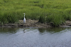 Egret along the Banks of the Salt Marshes. A lone egret stands on the bank of the Salt Marshes surrounded by green grass Stock Images