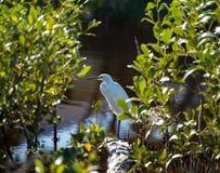 Egret amongst the mangroves Royalty Free Stock Image