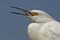 Egret. Any member of several species of herons family Ardeidae, order Ciconiiformes, especially members of he genus ta. Most s have white plumage and develop stock photo
