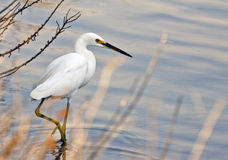 Egret. Any member of several species of herons family Ardeidae, order Ciconiiformes, especially members of he genus ta. Most s have white plumage and develop royalty free stock photo