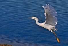 Egret. Any member of several species of herons family Ardeidae, order Ciconiiformes, especially members of he genus ta. Most s have white plumage and develop stock photography