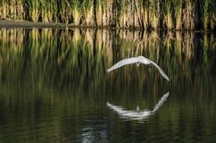 Egret arches over water Stock Image