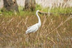 Egret, Ardea alba Белая цапля стоковые изображения rf