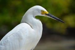 Большой Egret (ardea alba) Стоковая Фотография RF