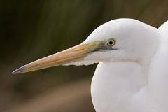 Egret, Australia Royalty Free Stock Images