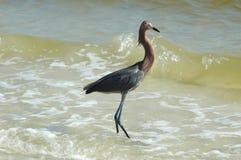Egret avermelhado foto de stock