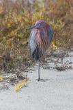 Egret avermelhado imagens de stock royalty free