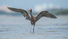 Egret avermelhado Fotografia de Stock Royalty Free