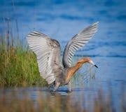 Egret avermelhado com pesca da propagação das asas imagens de stock royalty free