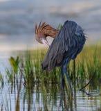Egret avermelhado que enfeita-se na maré baixa, Florida imagens de stock royalty free