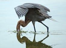Egret avermelhado que mergulha o bico na água, forte Desoto, Florida Imagens de Stock