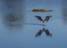 Egret avermelhado que procura Luch Fotos de Stock Royalty Free
