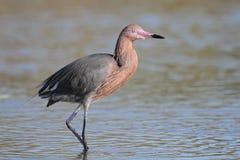 Egret avermelhado que vadeia na água pouco profunda Foto de Stock