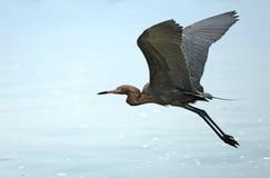 Egret avermelhado que voa sobre o Golfo do México, Florida Imagem de Stock Royalty Free
