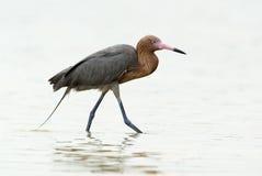Egret avermelhado (rufescens de Dichromanassa) Fotos de Stock Royalty Free