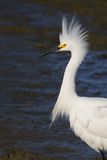 Egret - Bad Hair Day Stock Photography