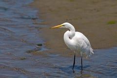 egret bagno wielki przyglądający Zdjęcie Stock
