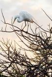 Egret balansowanie na linie Zdjęcie Royalty Free