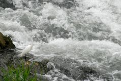 Egret on the bank of the Bacchiglione in Padua in the Veneto (Italy) Royalty Free Stock Photography