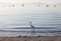 Egrret walking on the beach in Majorca. Egret on the beach in Port d `Alcudia at sunrise stock photos