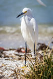 Egret at the Beach Royalty Free Stock Image