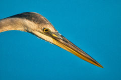 Egret beak Stock Image