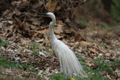 Egret with beautiful leathers Stock Photos
