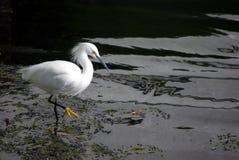 Egret bianco immagini stock libere da diritti