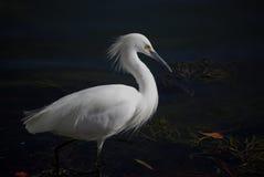 Egret bianco fotografia stock libera da diritti