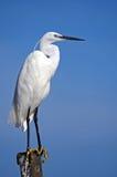 Egret bianco. Fotografia Stock