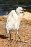 Egret bianco Immagine Stock Libera da Diritti