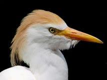 Egret bianco Fotografia Stock