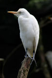 Egret bianco Immagine Stock