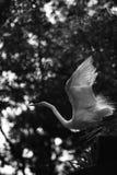 Egret bianco che cattura volo Immagine Stock Libera da Diritti