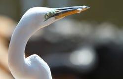 Egret bianco della Florida Fotografia Stock