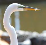 Egret bianco della Florida Immagine Stock Libera da Diritti
