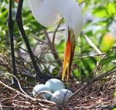 Egret bianco della Florida Immagini Stock
