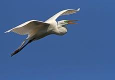 Egret bianco della Florida Immagine Stock
