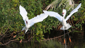 Egret bianco della Florida Fotografie Stock Libere da Diritti