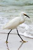 Egret bianco in Florida fotografia stock