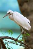egret biel Obrazy Stock