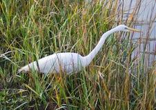 egret biel Fotografia Stock