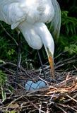 egret biel wielki macierzysty Zdjęcia Royalty Free
