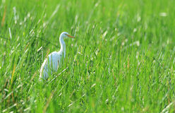 Egret at Billabong Stock Photography