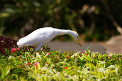 Egret Bird Stock Photography