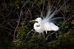 Egret bird with breeding plumage Stock Photos
