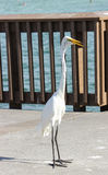 Egret Bird. An Egret exploring a fishing pier in Florida stock photography