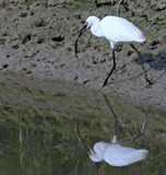 Egret bird with a fish in his mouth 3 Stock Photos