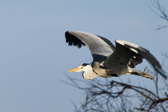 Egret bird in flight Stock Photography